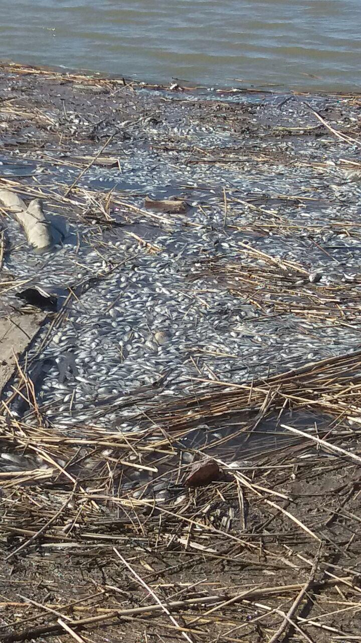 Трупы рыбы в Новоузенске.jpg