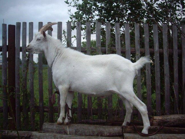 Коза заненской породы