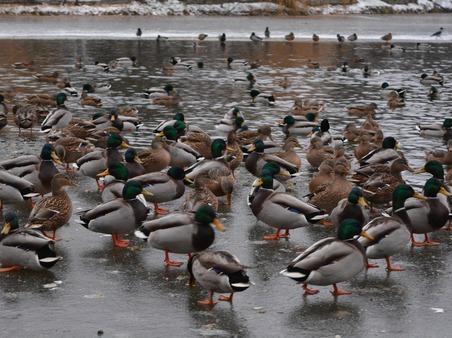 ВКраснодаре посчитают водоплавающих птиц