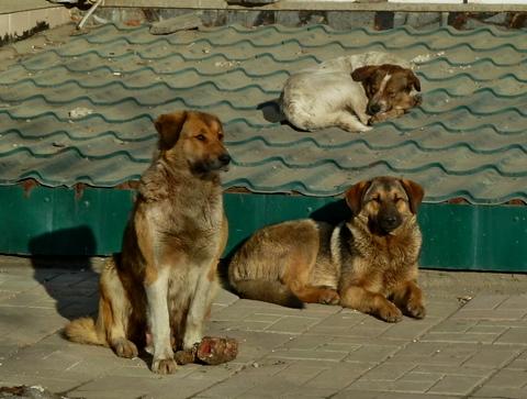 Рабочие МБУ «Дорстрой» ловят всреднем по7 бродячих собак вдень