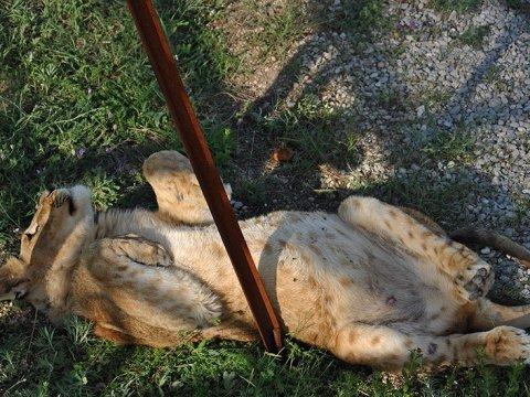 Львица Майя, напавшая наподростка под Саратовом, будет перевезена вкрымский зоопарк