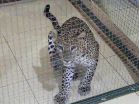 ВСаратове завели дело после нападения леопарда нашестилетнюю девочку