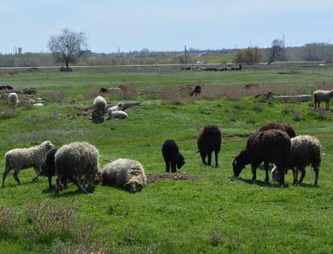 Под Саратовом из-за пасущихся овец набахчевом поле произошла драка
