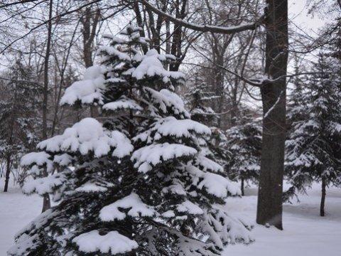 ВСаратовской области кНовому году срубят 54 тысячи елок