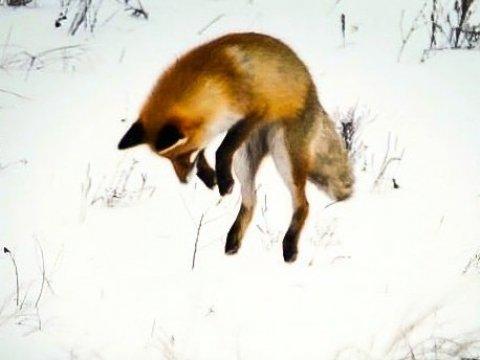 ВСаратовской области завершена охота напушных зверей