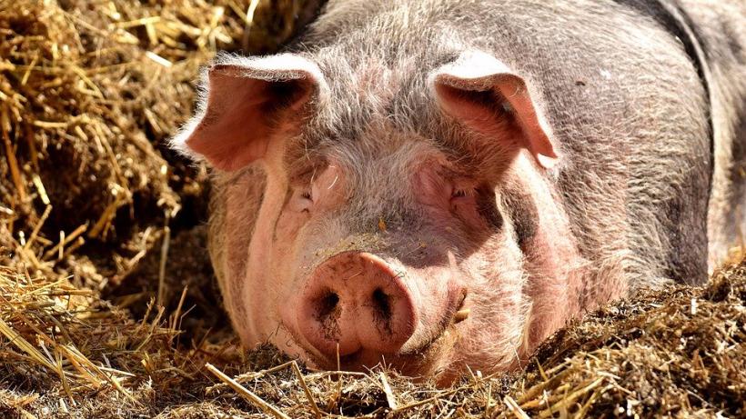 В Саратовской области выявили очаг африканской чумы свиней
